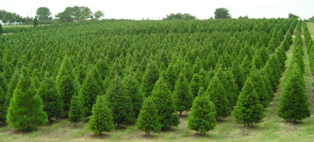 Με το Ριζωμένο Έλατο στολίζετε το Σπίτι ή το Γραφείο σας για τα Χριστούγεννα και μετά το φυτεύετε!